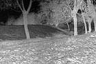 Aulekowszczyzna - wały grodziska, fot. J. Jaskanis, 1957