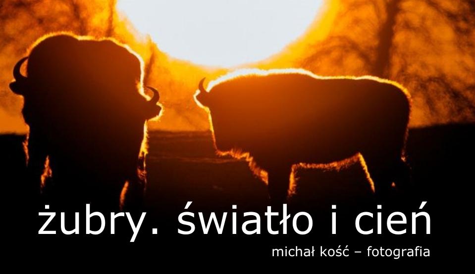 Żubry. Światło i cień - Michał Kość. Fotografia
